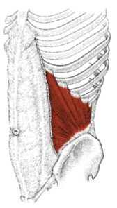 internal obliques diagram