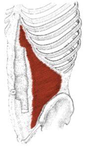 transversus abdominis diagram